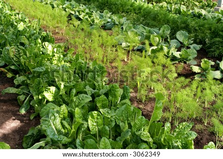 Close-up of rows of chard, fennel, and cabbage growing in a greenhouse.