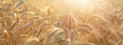 Close up of rye ears, field of ripening rye in a summer day. Sunrise or sunset time