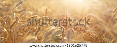 Close up of rye ears, field of ripening rye in a summer day. Sunrise or sunset time Сток-фото ©