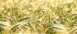Close up of rye ears, field of rye in a summer day. Sunrise or sunset time.