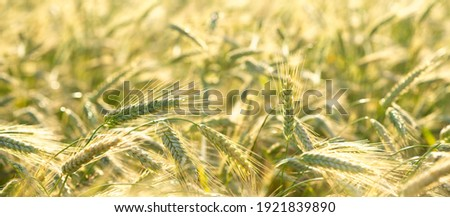 Close up of rye ears, field of rye in a summer day. Sunrise or sunset time. Сток-фото ©