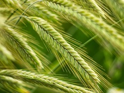 Close up of rye ears growing on the field. Summer landscape. Agriculture harvest. Countryside background. Grain for rye flour. Agribusiness