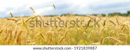 Close up of rye ears with water drops, field of rye after rain in a summer day Сток-фото ©