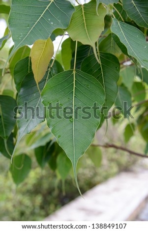 Close up of Sacred Fig Tree's leaves, also call Pipal Tree, Bohhi Tree, Bo Tree, Peepul. (Ficus religiosa L.)