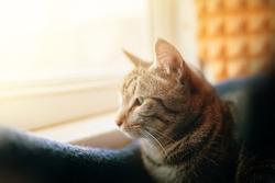 Close up of sad pussycat. Tabby cat looks out window. Pet sit near windowsill. Close up animal portrait.
