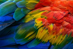 Close up of Scarlet macaw bird's feathers