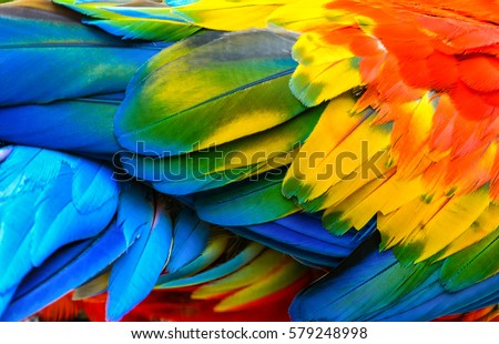 Close up of Scarlet macaw bird's feathers #579248998