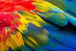 Close up of Scarlet macaw bird's feathers, exotic nature background and texture.
