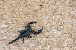 Close-Up Of Scorpion On Ground,Dangerous animal,poison creature,Selective focus.Don't focus on The main subject .