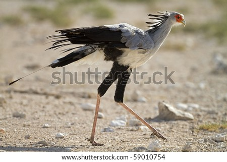 Close-up of Secretary bird walking in open field; Sagittarius serpentarius