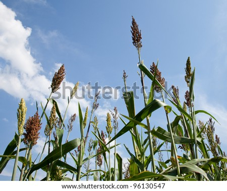 Close up of seeds of sorghum plans on farm grown for bio fuels and ethanol