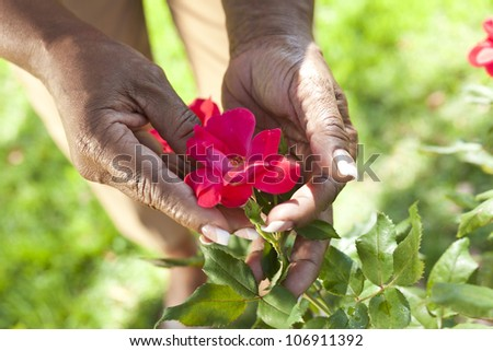Close up of senior African American woman's hands holding a red rose flower in a summer garden