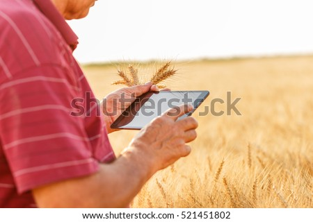 Close up of senior farmer standing in a wheat field with a tablet and examining crop.