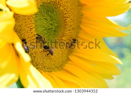 close up of several honey bees Apis mellifera foraging collecting pollen and nectar from big sunflower blossom flower, insect polinators on common agricultural summer oil crop Heliantus annuus