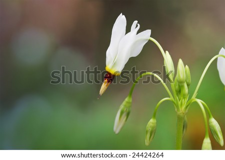 Close-up of Shooting Star wildflower.