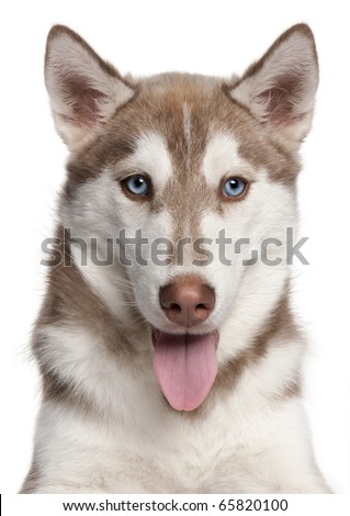 Close-up of Siberian Husky puppy, 4 months old, in front of white background