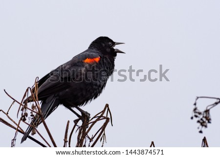 Close up of singing red-winged black bird (Agelaius phoeniceus), Marin Headlands, Marin County, North San Francisco bay area, California #1443874571