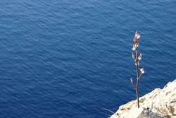 Close-up of single Asphodelus flowering plant on rocky cliff with blue ocean in the background. Flora and fauna of Spanish balearic island Mallorca during spring.