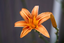 Close up of single, orange colored, blooming daylily flower . High quality photo