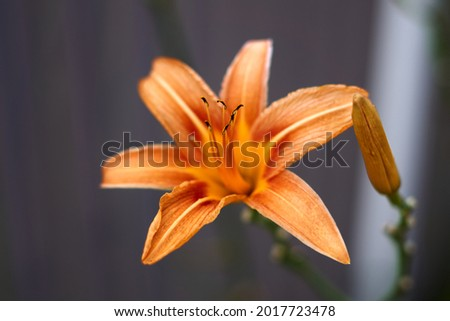 Photo of Close up of single, orange colored, blooming daylily flower . High quality photo