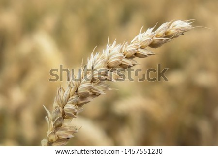 Close up of single wheat branch #1457551280