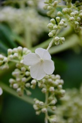 Close-up of singular, white hydrangea bloom, late summer