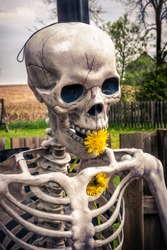 Close up of skeleton skull and torso, with dandelions in mouth and ribcage - moody effect on farm yard  background