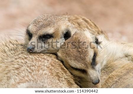 Close up of sleeping Meerkats