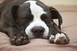Close up of sleeping young Pit Bull puppy