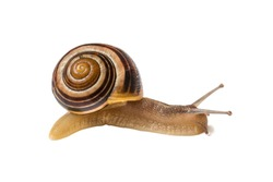 Close-up of slimy snail isolated on white background