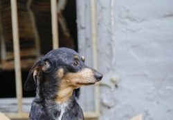 Close up of small dachshund abandoned & frightened with squalid-looking wall & grate in the background