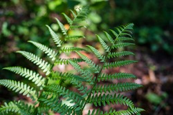 Close-up of small lush green saturated fern tracheophyta polypod