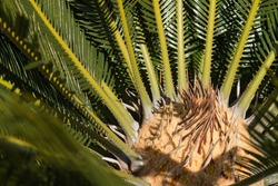 Close up of small Palm tree growth. Top view, high angle inside centre view. Green palm tree pattern and centre of palm tree spikes and leaves