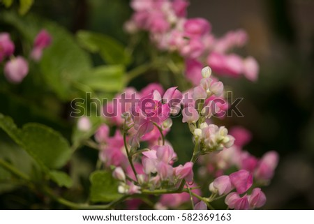 Close Up Of Small Pink Mix White Flower Mexican Creeper Flower
