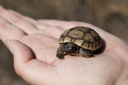 Close-up of small turtle in the palm of a woman hand. Animals, reptiles.
