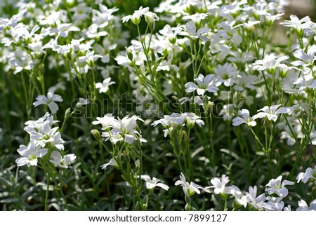 Close up of small white flowers in garden.
