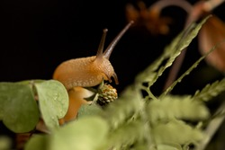 Close up of snail sitting on wild strawberry bush with unripe green berries on black background