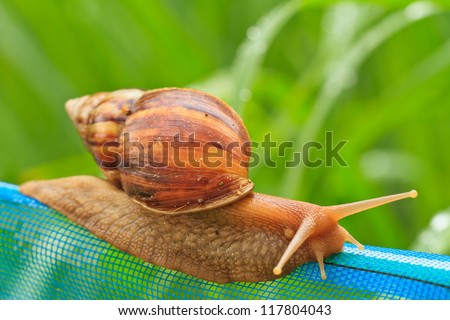 Close-up of  snail walking on the net; also known as Roman snail, edible snail or escargot