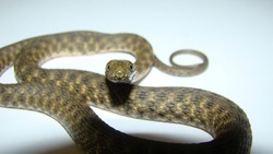 Close up of Snake on a white background snake isolated Closeup of water snake is a non venomous.  Snake in the woods, forest Veterinarian exotic. Veterinarian wildlife. veterinary medicine. Reptile.