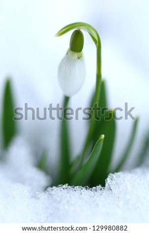 Close up of snowdrop in snow
