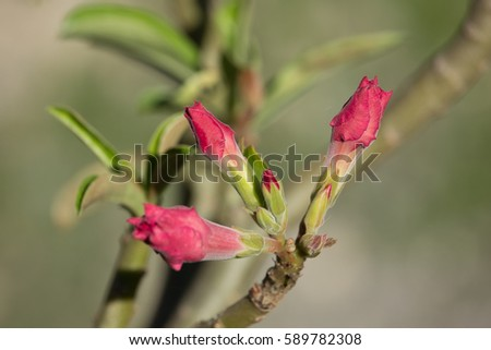 Close up of soft pink desert rose flowers ez canvas close up of soft pink desert rose flowers mightylinksfo