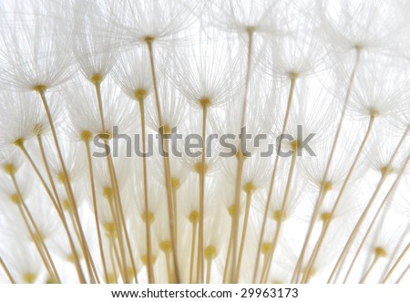close-up of soft white dandelion seeds against white background