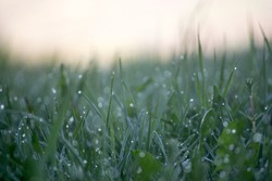 Close up of some blades of grass with dew drops at dawn