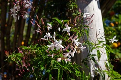 Close up of some Pink jasmine (Jasminum polyanthum - an evergreen twining climber native to China and Burma) cultivated in an outdoor garden in a sunny day in Cunha, Sao Paulo - Brazil.