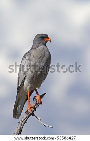 Close-up of Southern Pale Chanting Goshawk perched on dead tree; Melierax canorus