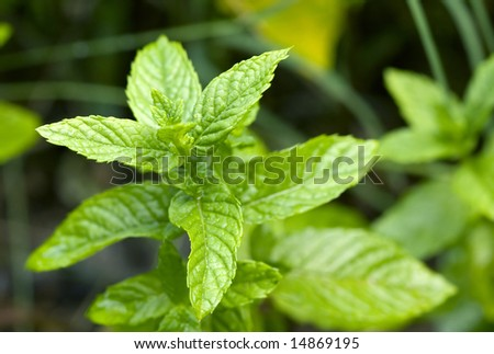 Close-up of spearmint leaves growing in a garden.
