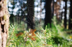 Close-up of spiderweb in the forest on a sunny summer day against the background of green trees.