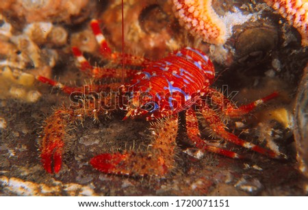 close up of spiny squat lobster Foto stock ©