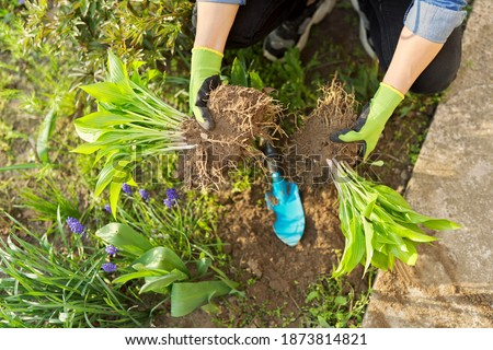 Close-up of spring dividing and planting bush of hosta plant in ground, hands of gardener in gloves with shovel working with hosta, flower bed landscaping backyard Photo stock ©