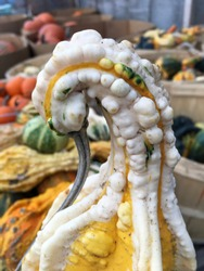 Close-up of squash vegetable which looks like a swan tilting its head down. Blurry / depth of field background of colorful pumpkins in bushels. Selective focus. Vertical. Funny.